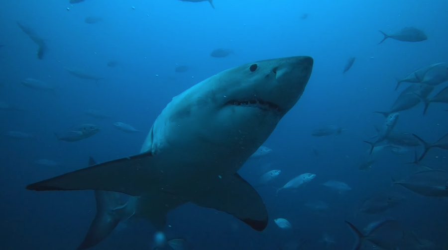 In Search of the Titans – Great White Shark Expedition with Andrew Fox